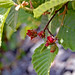 Small photo of Alnus incana ssp. rugosa; gall on fruit