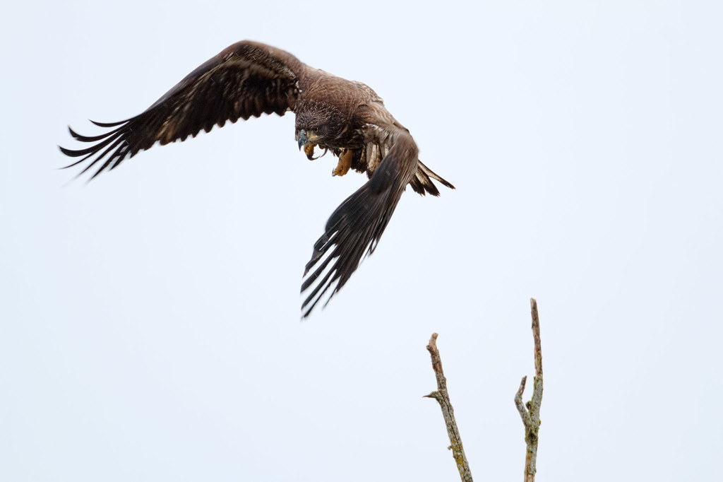 A young bald eagle takes to the skies