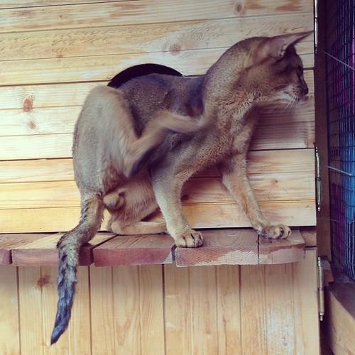 Дождь заканчивается, кот не пострадал))) смотрим на мокрый хвост! Это через две крыши - вольера и домика! #старыйкрым  #abyssinian