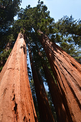 Giant sequoia grove along the Congress Trail