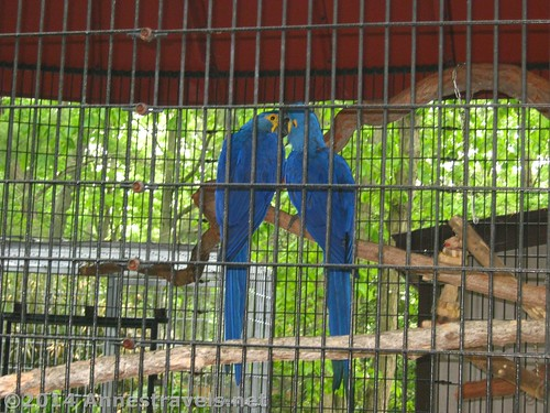 Blue Macaws - I think they look like they're kissing :-) Cape May Zoo, New Jersey