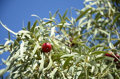 DSC_0717 fruit of Santalum acuminatum (desert quandong)
