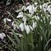 Snowdrops at Rococo Garden