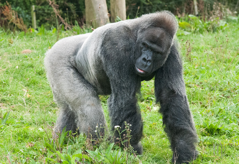 Gorillas at Bristol Zoo