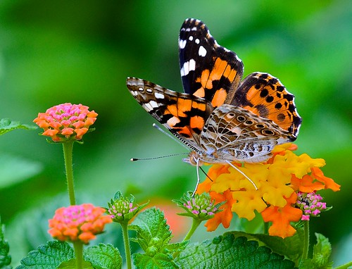 butterflies paintedlady