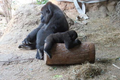 animal ニシローランドゴリラ gorilla 上野動物園 ゴリラ zoo 恩賜上野動物園 westernlowlandgorilla 動物園 上野 ueno ニシゴリラ westerngorilla uenozoo