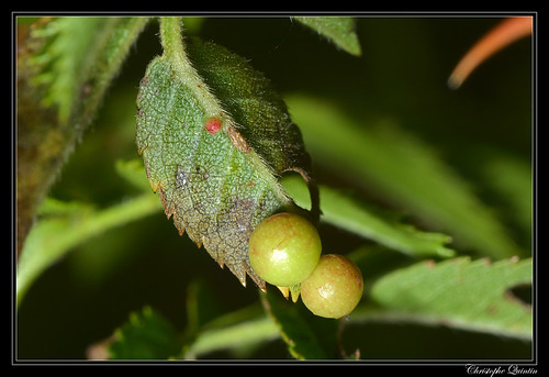 Galle de Diplolepis eglanteriae sur Rosa canina