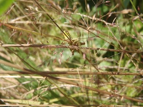 Criquet des pâtures (Chorthippus parallelus)