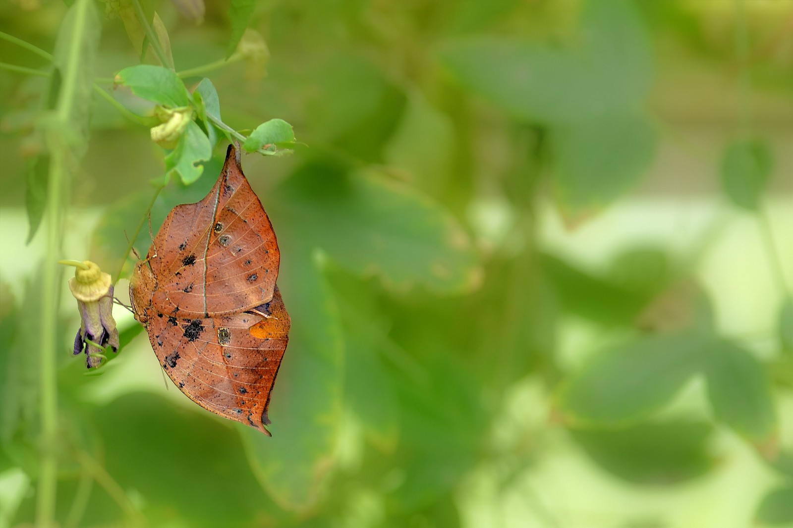 The Dead Leaf...... A Nature's Mimicry