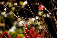 raindrops on reed