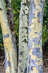 Eucalyptus colors