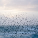 Starling murmuration on a rough day by lomokev