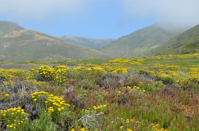 Big sur wildflowers + blue sky