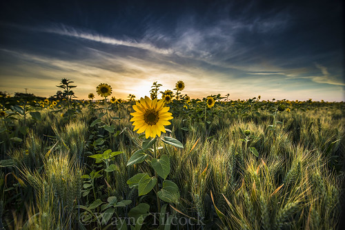 california blue sunset sky green yellow clouds nikon wheat ag sunflower agriculture davis yolo