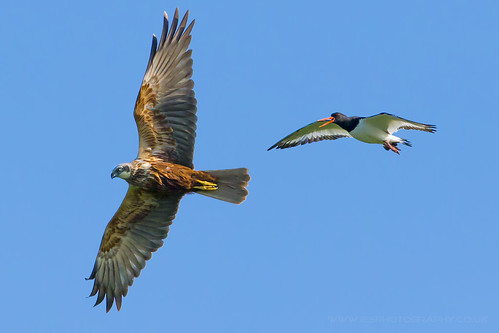 Marsh Harrier and an OysterCatcher