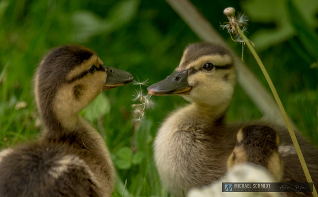 2014-05-17 Vancouver Devonian Park Mallard Ducklings 34