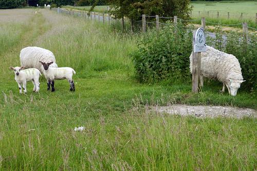 Woodhenge Sheep