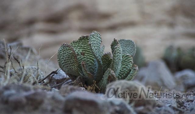 cactus 0001 Mecca Hills, California, USA