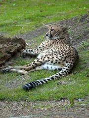 Memphis Zoo 09-03-2009 - Cheetah 29
