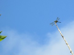 Dragonfly Against The Sky