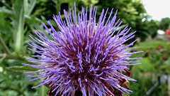 jasione montana(0.0), produce(0.0), petal(0.0), flower(1.0), thistle(1.0), macro photography(1.0), wildflower(1.0), flora(1.0), silybum(1.0), artichoke thistle(1.0), close-up(1.0),