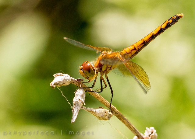 Meadowhawk on a Perch