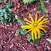 Black-eyed Susan. #raingarden #summer
