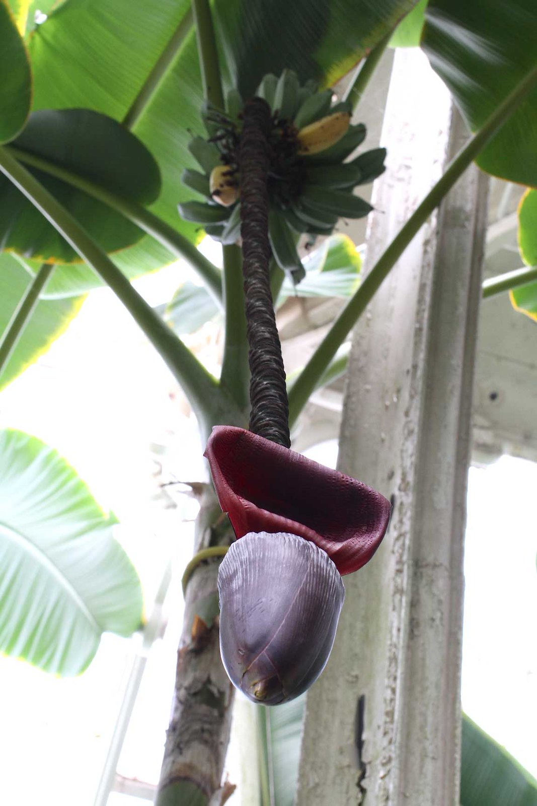 this-is-a-banana-tree
