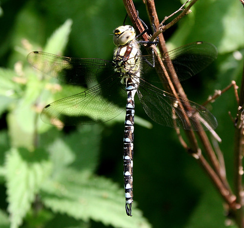 Southern Hawker Aeshna cyanea Tophill Low NR, East Yorkshire July 2014