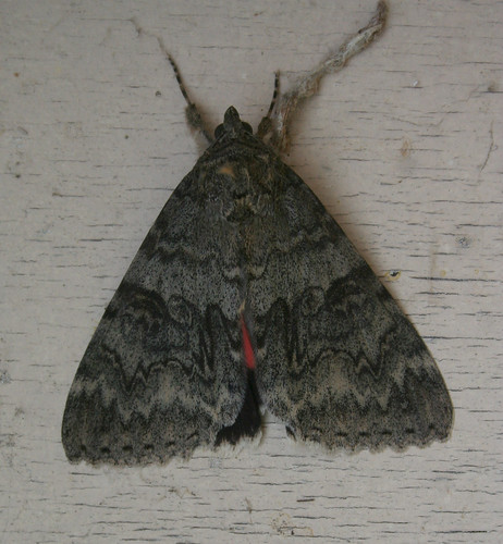 Red Underwing Catocala nupta Tophill Low NR, East Yorkshire August 2014