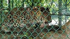 tiger(0.0), recreation(0.0), outdoor recreation(0.0), wildlife(0.0), animal(1.0), big cats(1.0), leopard(1.0), zoo(1.0), mammal(1.0), jaguar(1.0), fauna(1.0),
