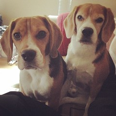 I don't think the boys like this second weekend in a row off! What they don't know is that we have an AKC agility trial starting Monday! But I will have two grumpy beagles until then! Maybe a vet recommended trip to the beach will be the best bridge until
