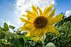 sunflower-2122