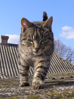 Walking Cat on Roof