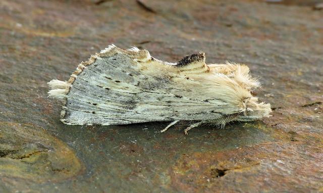 2011 Pale Prominent - Pterostoma palpina