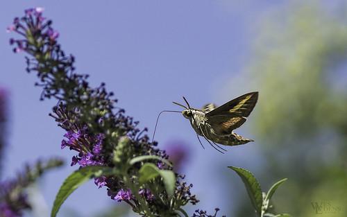yellow sony butterflies