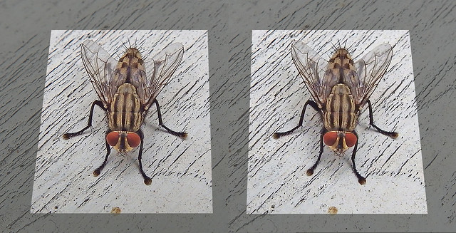 Flesh fly: cross view 3D