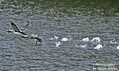 Pacific Loons Taking Off W 5732