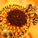 Honey Bees at work by Puckpics