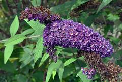 Blütenpracht im Schebergarten