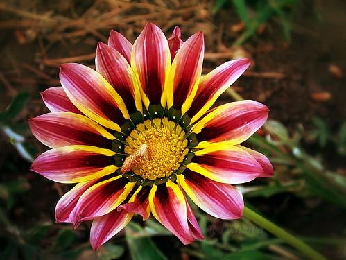 summer flower color macro nature garden sony gazania природа amazingwork цветя rivanova риванова