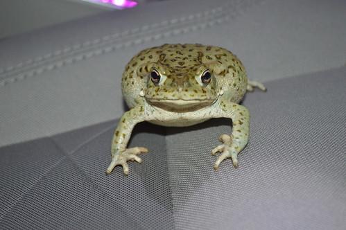 Sonoran Desert Toad (Ollotis alvaria)