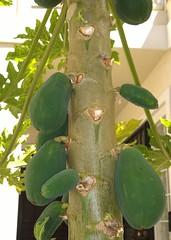 Papayas growing on a neighbor's tree