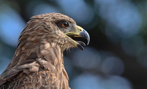 india nikon bokeh bangalore predator karnataka focused animalplanet protrusion indianbirds lalbaghbotanicalgarden afsnikkor300mmf4difed nikond7000 indianblackkite