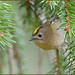 Goldcrest by Full Moon Images