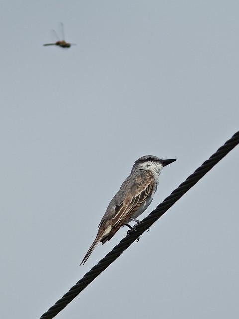 Gray Kingbird -Tyrannus dominicensis 03-20140824