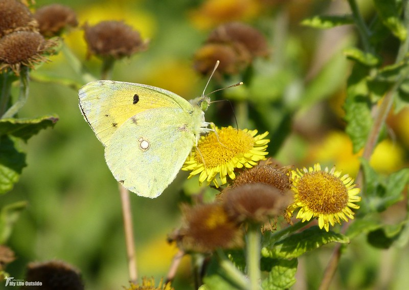 P1080867 - Clouded Yellow, Whiteford