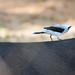 Pássaro passeando nas costa de uma Anta