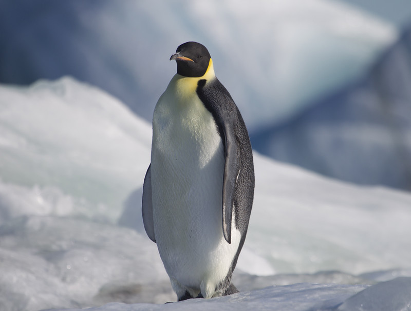 Emperor Penguin, Antarctica. Getty Images.