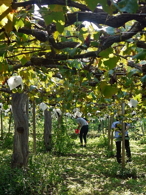 Yamanashi Grape Picking